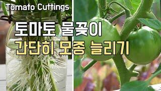 토마토 키우기 물꽂이로 간단히 모종 늘리는 방법 (Ho…