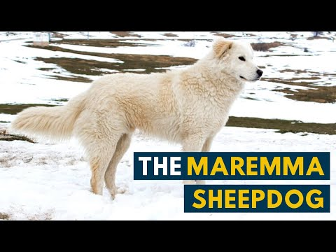 Maremma Sheepdog: 7 Reasons Why We Love The Italian Flock Guardian!
