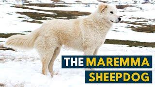 Maremma Sheepdog: 7 Reasons Why We Love The Italian Flock Guardian!