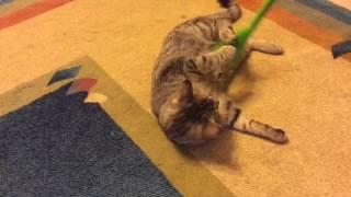 Masaj yaptıran kedi
