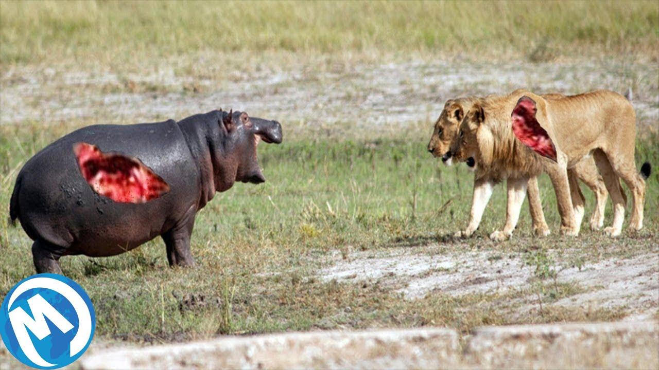 As Mais Extremas Batalhas De Animais Selvagens