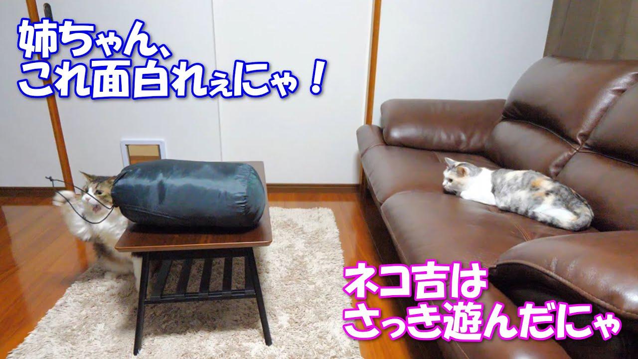 紐で遊ぶボス吉とソファーの上で眺めるネコ吉