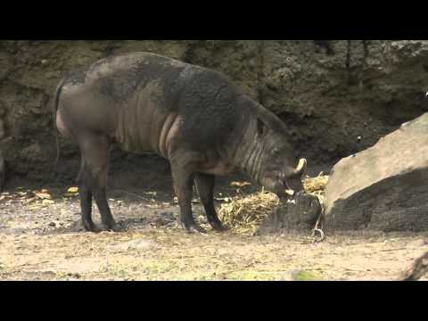 On Location: The Buru Babirusa
