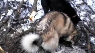 Собаки добывают норку из под завала