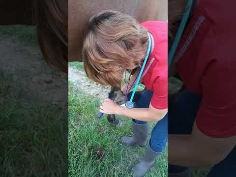 Skill 41: Cleaning a horse's hooves
