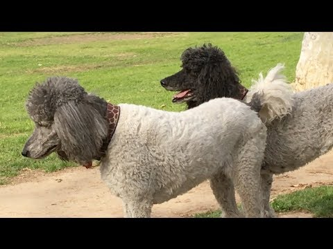 Standard 'Parti Poodles' Play with their Old Friend Winston (and more)
