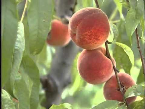 maioli frutti frutti antichi la biodiversit youtube