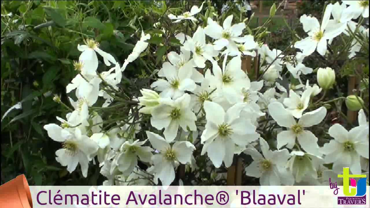 clematis x cartmanii avalanche 39 blaaval 39 p pini res. Black Bedroom Furniture Sets. Home Design Ideas