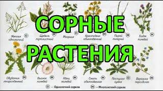 видео Сорные растения