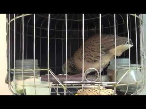 Chim cu gáy nhà tôi