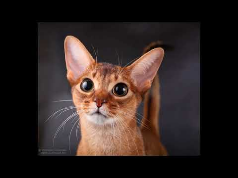 average lifespan of abyssinian cat