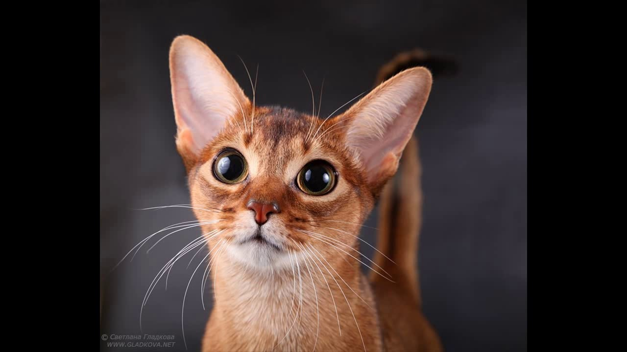 average lifespan of abyssinian cat - YouTube