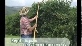 Podas Del Cultivo De Aguacate Youtube