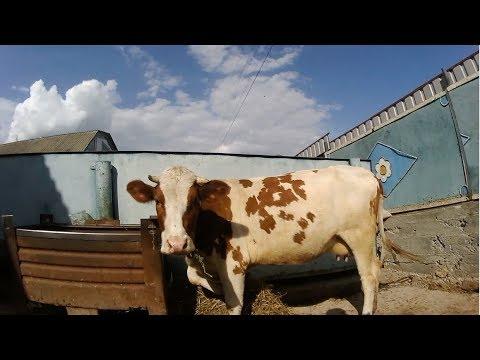 Как удалить бородавку на вымени у коровы