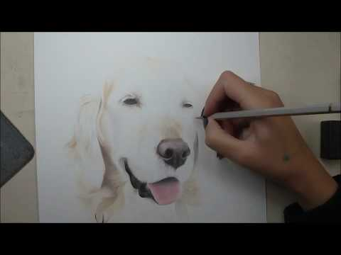 Honey the Golden Retriever Pet Portrait in Coloured Pencils