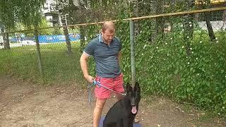 Дрессировка собак -Восточно-европейская овчарка Неффи 7 мес.Дрессировщики -Олег и Сергей