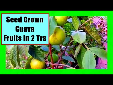 Growing Guava Tree From Seed