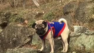 説明 #犬とお出かけ #パグとお出かけ #犬連れ登山 #パグ連れ登山.