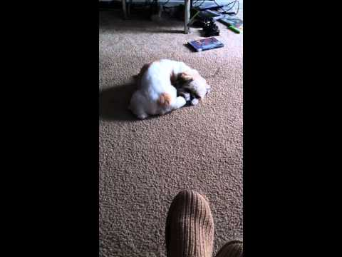 Gizmo Chases Tail