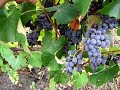 Зреет виноград Изабелла скоро будем делать вино mp3