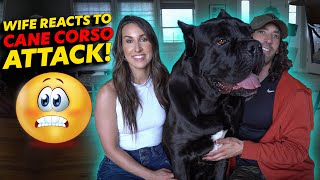 Cane Corso Attack Wife Reacts!