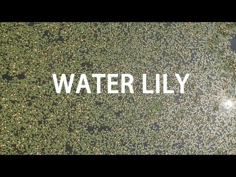 Care of Lilies :  Water Lily Pond Plants Video
