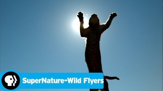 SUPERNATURE - WILD FLYERS | Caracals | PBS