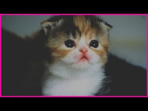 Cutest Kitten Breeds