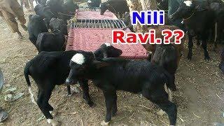 Nili Ravi Nasal ki Young Buffalos in Pakistan By How to Animals 2018