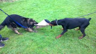 Doberman Tug Of War German Shepherd Part2