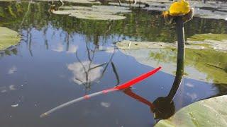 Рыбалка на ПОПЛАВОК на рассвете КАРАСЬ ПЛОТВА в кувшинках на реке