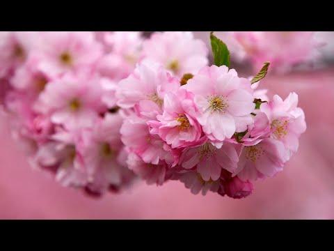 Kumpulan Gambar Bunga Sakura Nabila Youtube