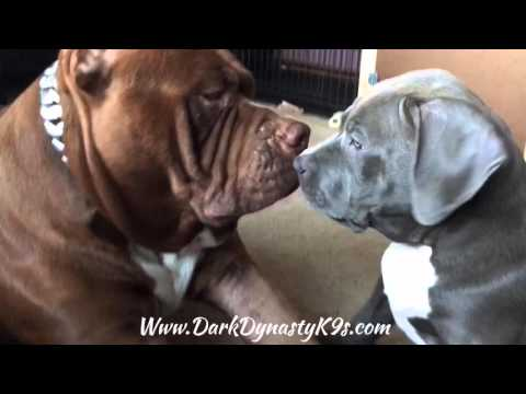The best father on earth! Giant family Pitbull 'THE HULK' plays with his puppy😍