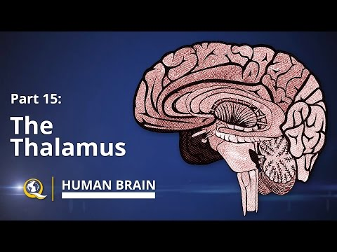 Thalamus - Human Brain Series - Part 15