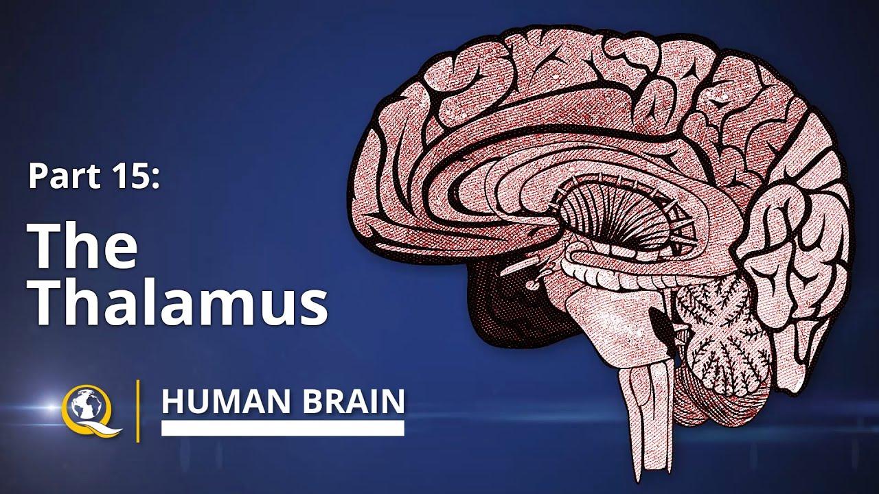 Thalamus Human Brain Series Part 15 Youtube