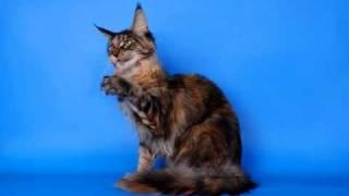 Питомник кошек породы Мейн кун ForestPride