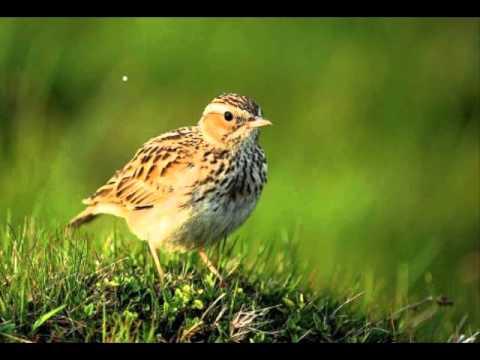 singing canary alouette song aouette sesi,ötüşü