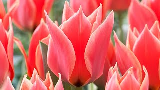 How to plant Dwarf Tulip bulbs: Jeff Turner plants a collection Rockery/Botanical Tulips