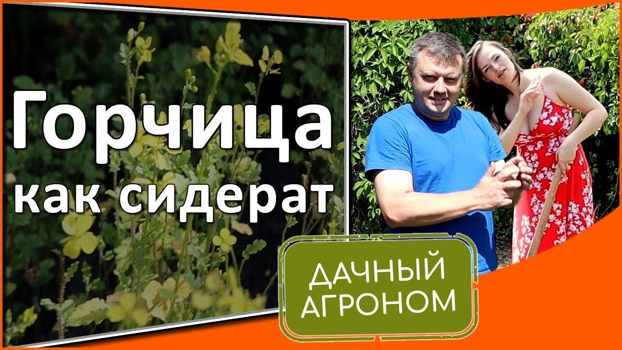 Горчица как сидерат: как сеять, когда косить, максимальная польза