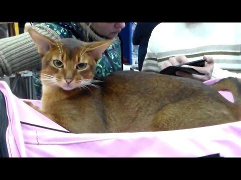 Абиссинская Красавица, Породы Кошек #кошки