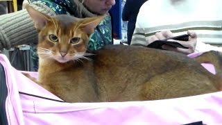 Абиссинская Красавица, Породы Кошек #кошки(Абиссинская Красавица, Породы Кошек. https://www.youtube.com/watch?v=zjBE52GIdlo&list=UUQy3-hx70wrXRYl5Z7faMgQ&hd=1 Абиссинская кошка ..., 2016-01-25T21:02:48.000Z)