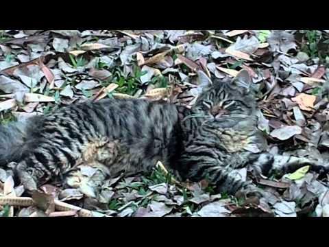 gato-hermoso-posando-para-fotos-descansa-entre-hojas-|-nice-videos-youtube-tiger-cats-[kitten-cute]