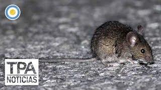 Brote de hantavirus en Chubút | #TPANoticias