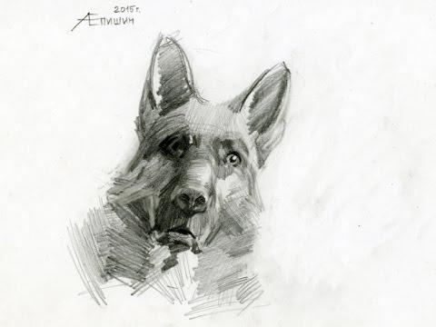Как рисовать собаку? Рисунок немецкой овчарки карандашом. Художник Алексей Епишин.