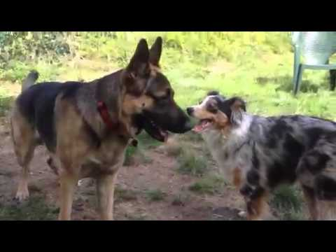 Talon and Daisy, German and Australian Shepherds