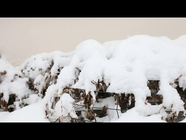 SnowonBushesWhileSnowing Jan2019