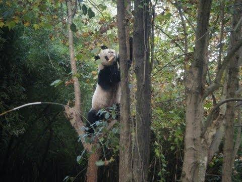 how Panda reacts during the 2013 Sichuan Yaan Earthquake Real Panda Kungfu before quake
