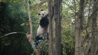 how Panda reacts during the 2013 Sichuan Yaan Earthquake Real Panda Kungfu before quake