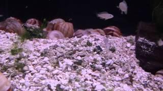 My Neolamprologus Multifasciatus colony (October 22, 2010)