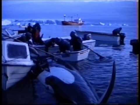 Killer Whale Hunters of Qaanaaq.